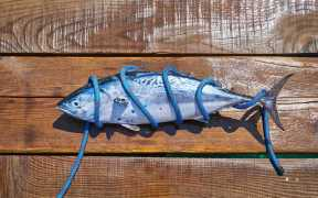 majority-of-tuna-catch-from-healthy-stocks