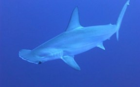 NEW SHARK SPECIES SPOTTED