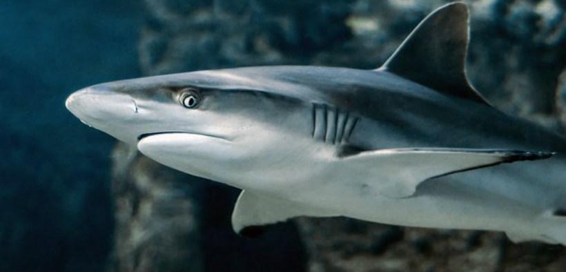 SHARKS SCARCER