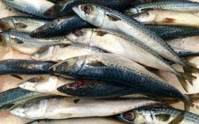 growth-in-norwegian-mackerel