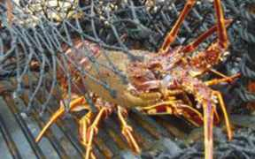 RESEARCH INTO SW ENGLAND CRAWFISH