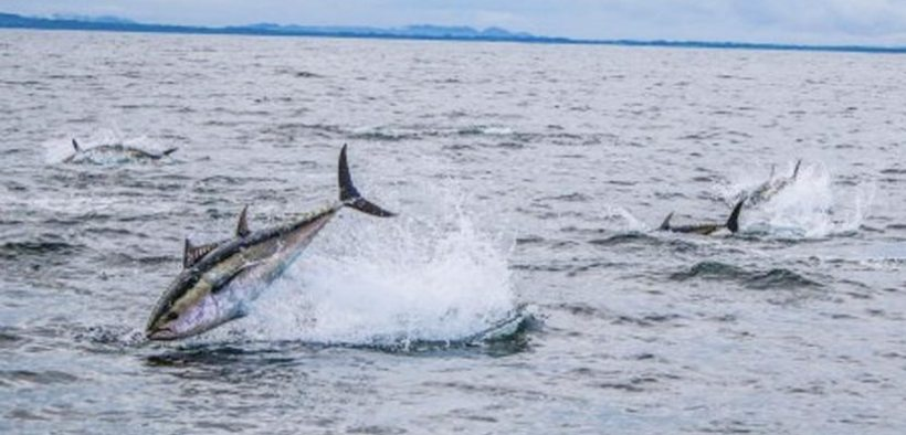 Bluefin tuna scientific catch-tag-and-release angling fishery 2020