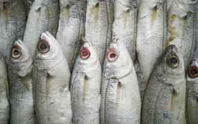 RUSSIAN FROZEN FISH PRICES