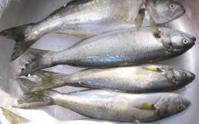 FISH DIET IS GOOD