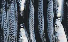 MACKEREL AND HERRING COULD HELP