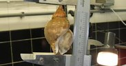 Increase in MLS of whelk in SW England