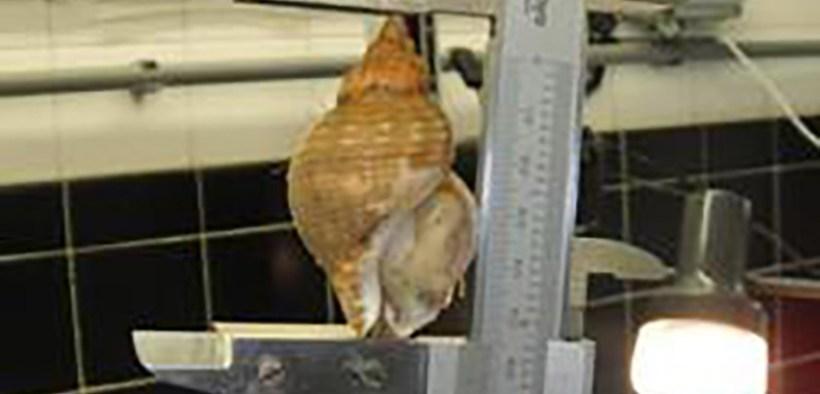 Increase in MLS of whelk in SW England