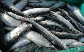 Atlanto-Scandian herring