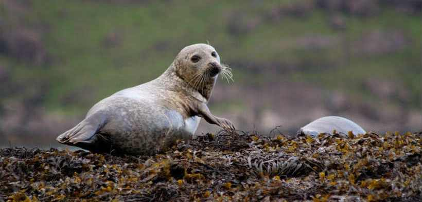 concerns-about-harbour-seal-populations