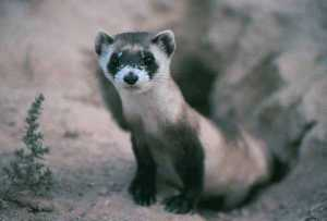 Black footed ferrets returning to Texas?