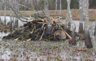 Senseless Beaver Slaughter