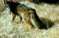 U.S. Geo. scientists produce hybrid wolf/coyote pups