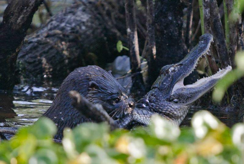 An Otter Attacked An Alligator, And Then Ate It (PHOTOS)