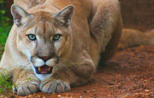 The beauty of cougars