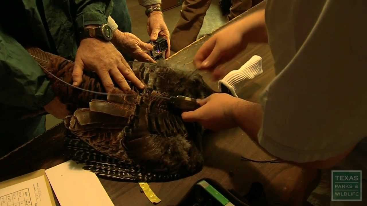 Eastern Turkey Release 2014 - Texas Parks and Wildlife