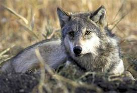First wolf attacked confirmed in Minn.