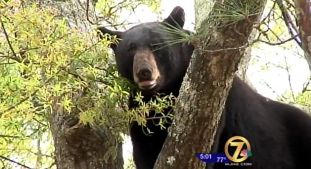 Is That Really How They Wanted This to Happen? Tranquilized Bear Falls From Tree, Goes Right Through Tarp