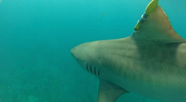 Scientists tagging sharks in Gulf to predict hurricane intensity