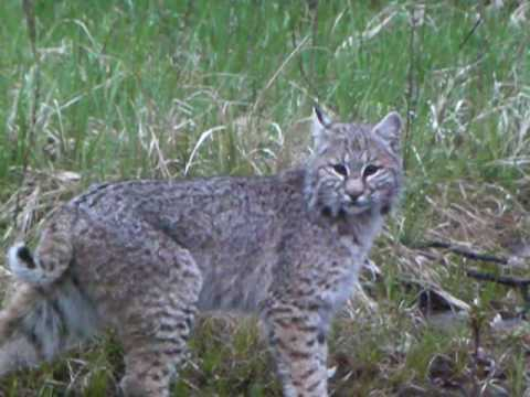 Bobcat Fooled By the Oldest Trick in the Book [VIDEO]