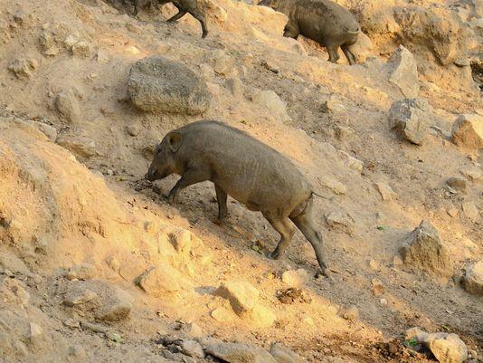 NY bans hunting of invasive pig