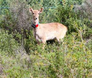 Help bring fallow deer back to the Holy Land!