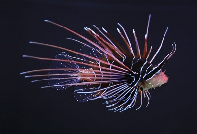 1280px-Clearfin_lionfish_Pterois_radiata-400x273