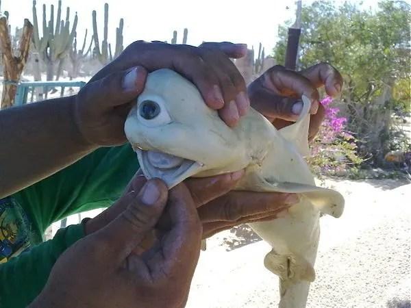 Cyclopsfish