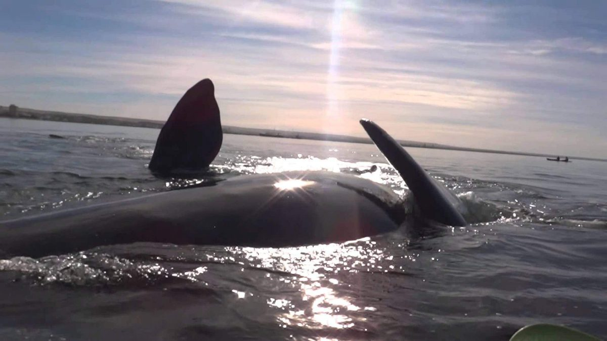 A Pair Of Kayakers Stays Amazingly Calm When a Giant Whale Takes Them For a Joy Ride