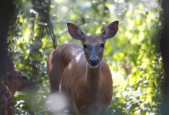 Mississippi man cited for drowning deer in mississippi for Renew ga fishing license