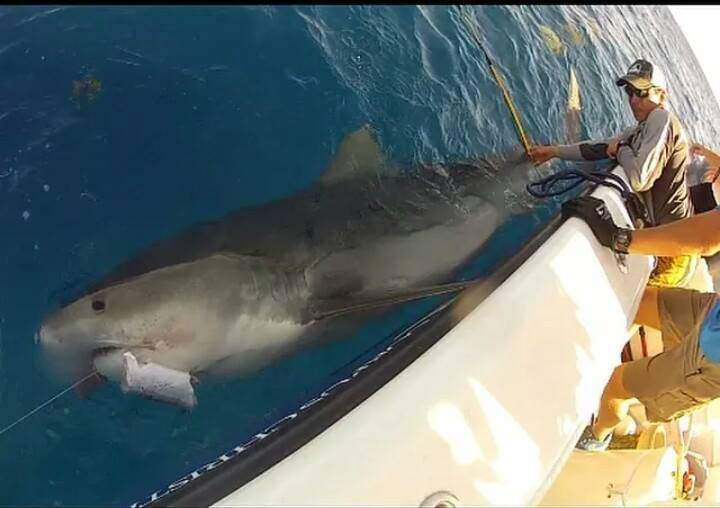 Whoa! 12' tiger shark caught (for tagging purposes) and released this week in Port Aransas,Texas