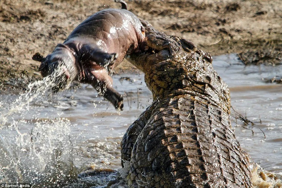 Hippo tot is tossed around by crocodile after young animal is snatched while its mother had her back turned