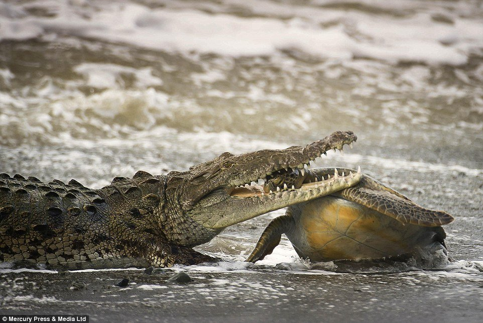 turtle-gator 1