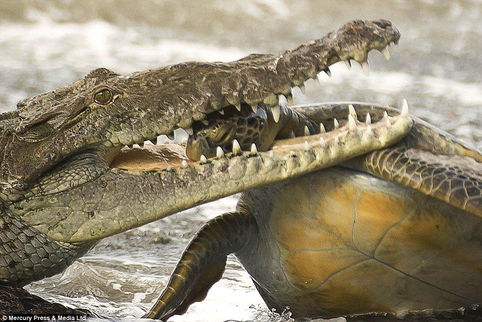 turtle-gator 3