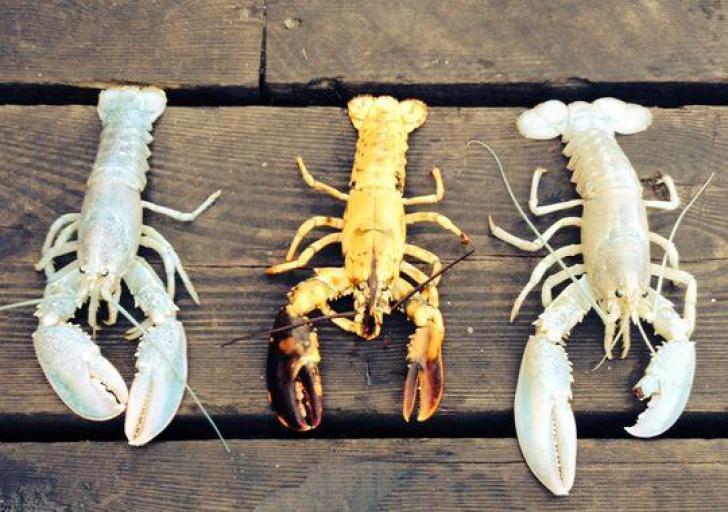1410058282000-AP Albino Lobster_001