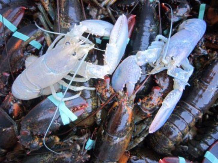 albino lobster