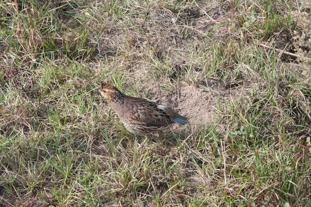 bobwhite_quail_on_ww_ranch--tom_harvey