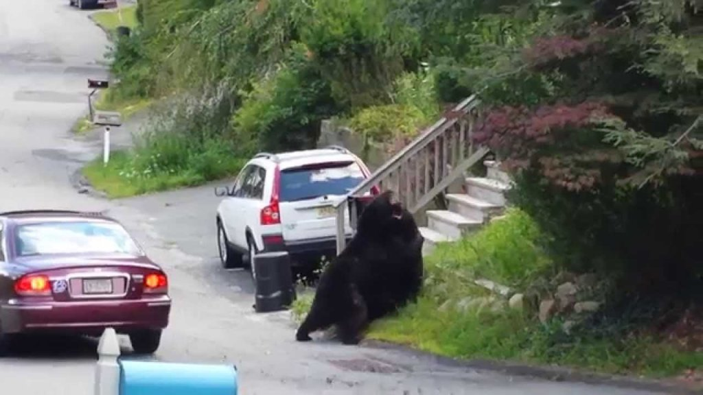Epic bear brawl on new jersey street caught on tape video for Nj fish and game