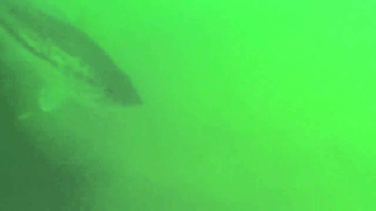 Huge pond bass (video)