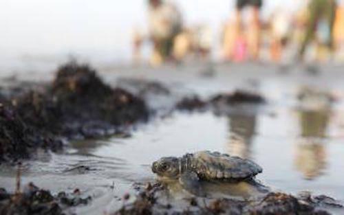 sea-turtle-hatchlings_tolb