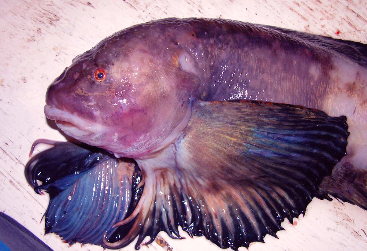 Deepest fish features angel wings tentacles and amazing for Fish and wings