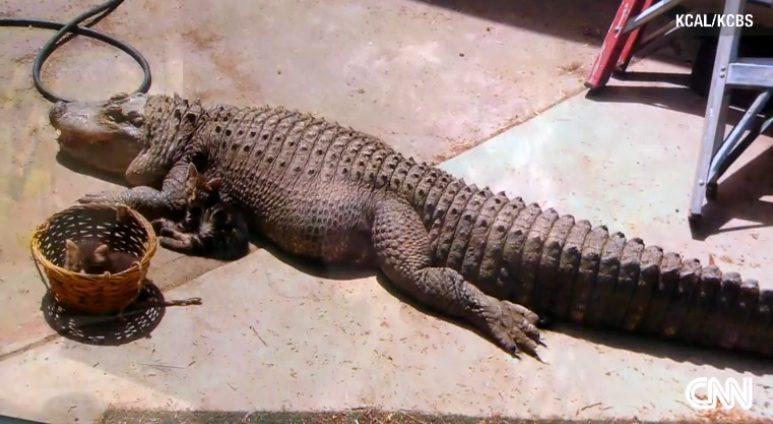 gator-pet