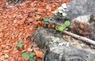 TX coral snake eats copperhead! (Video)