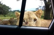 What to Do if a Lion Opens Your Car Door (VIDEO)
