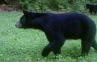 Journey of a wayward Texas bear