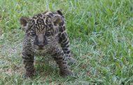 Baby jaguar displayed at Ellen Trout Zoo in Lufkin