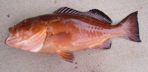 TF&G - RED GROUPER IMAGE