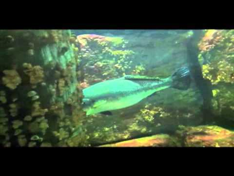 Are big fish designed to save their energy video for Fish on energy