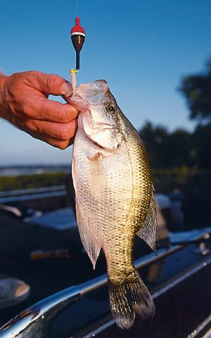 Knowing how to catch crappie in the shallows during spring will add joy and good eating to your life.