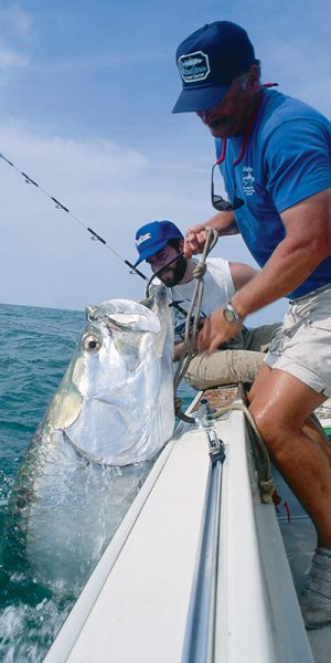 Some huge tarpon have been caught near shore in the Gulf of Mexico during the summer months.