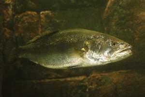 trout-tactics